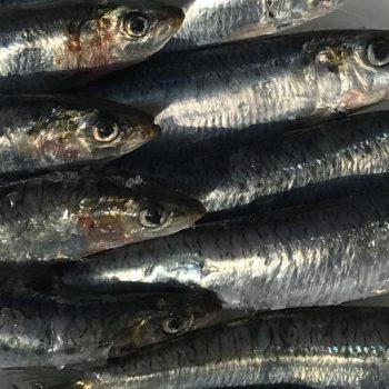 Fresh Cornish Sardines high in omega 3